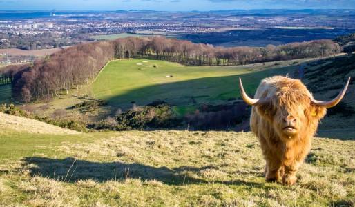 Pentland Hills i krowy w Edynburgu
