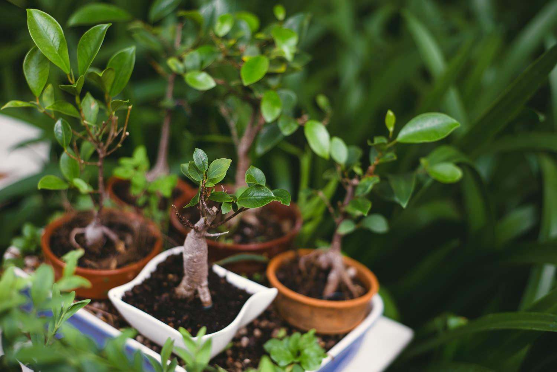 bonsai-lizbona