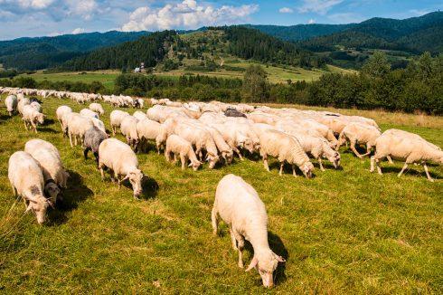 owce-w-pieninach
